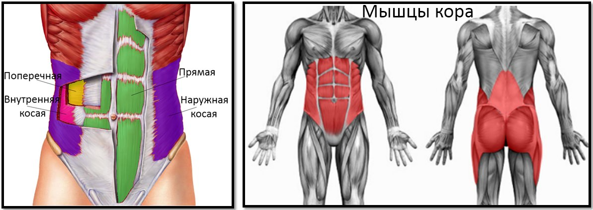 Анатомия мышц пресса, кора