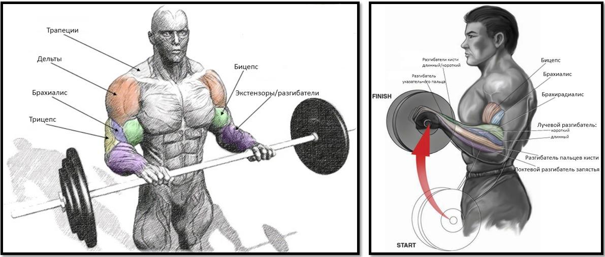 Подъем штанги на бицепс обратным хватом мышцы в работе