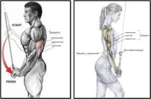 Разгибание рук на блоке мышечный атлас