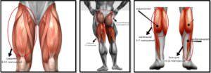 Мышцы ног и их типы мышечных волокон, количество повторений