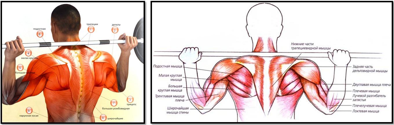 Жим штанги из-за головы атлас мышц