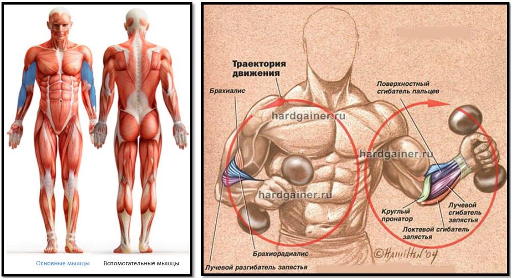 Сгибания Зоттмана мышцы в работе