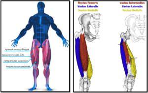 Анатомия мышц квадрицепса