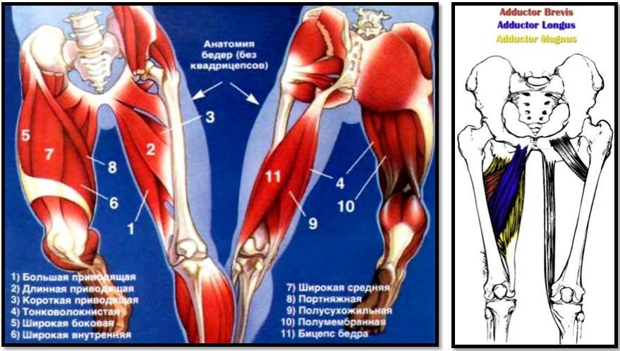 Анатомия приводящих мышц