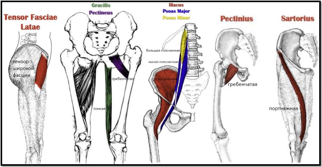 Анатомия сгибателей бедра и прочих мышц ног