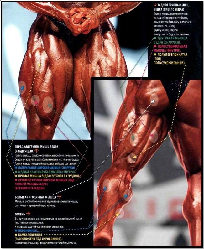 Анатомия мышц ног полный сборный атлас
