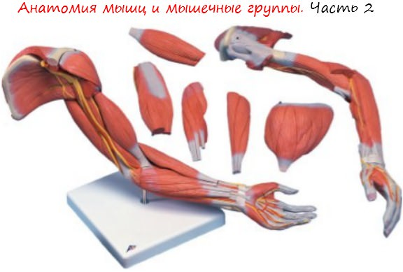 Анатомия мышц и мышечные группы