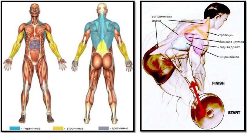 Тяга штанги в наклоне мышцы