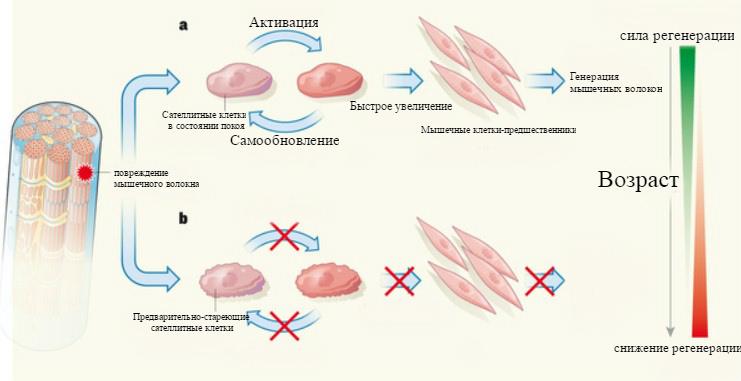 Влияние возраста на обновление мышц