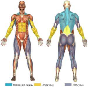тяга т-грифа, мышцы в работе