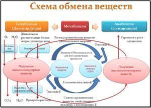схема метаболизма, обмена веществ