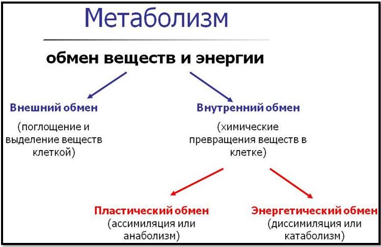 виды метаболизма