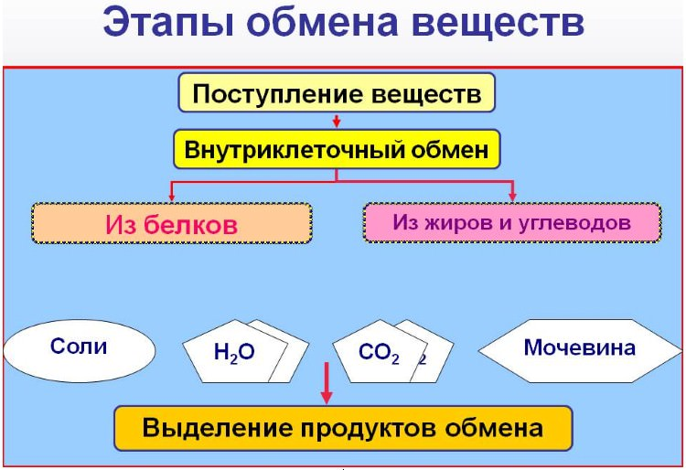 три этапа обмена веществ