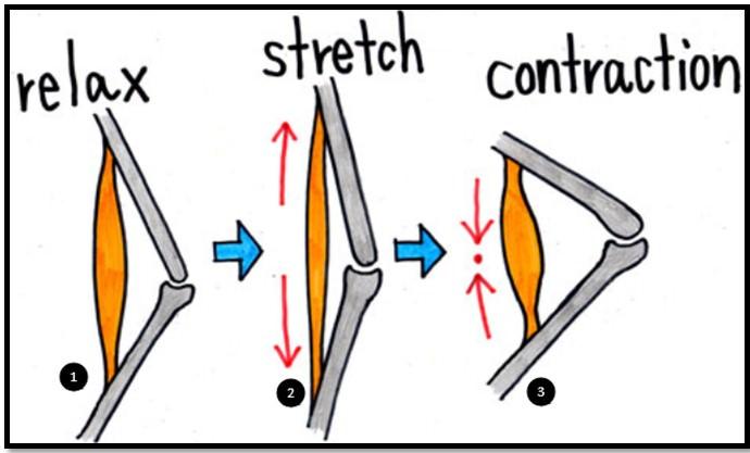 мышцы в трех состояниях
