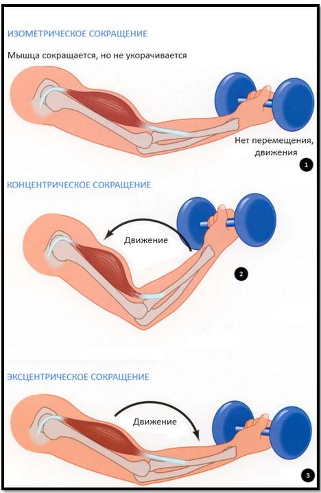типы мышечных сокращений