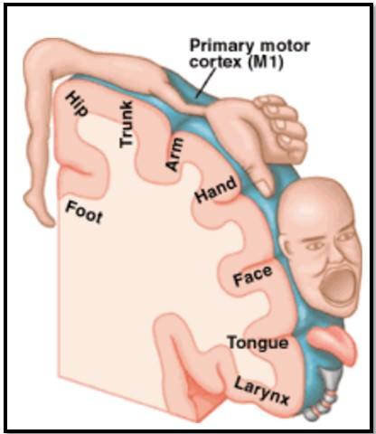 первичная моторная кора и ответственные части тела