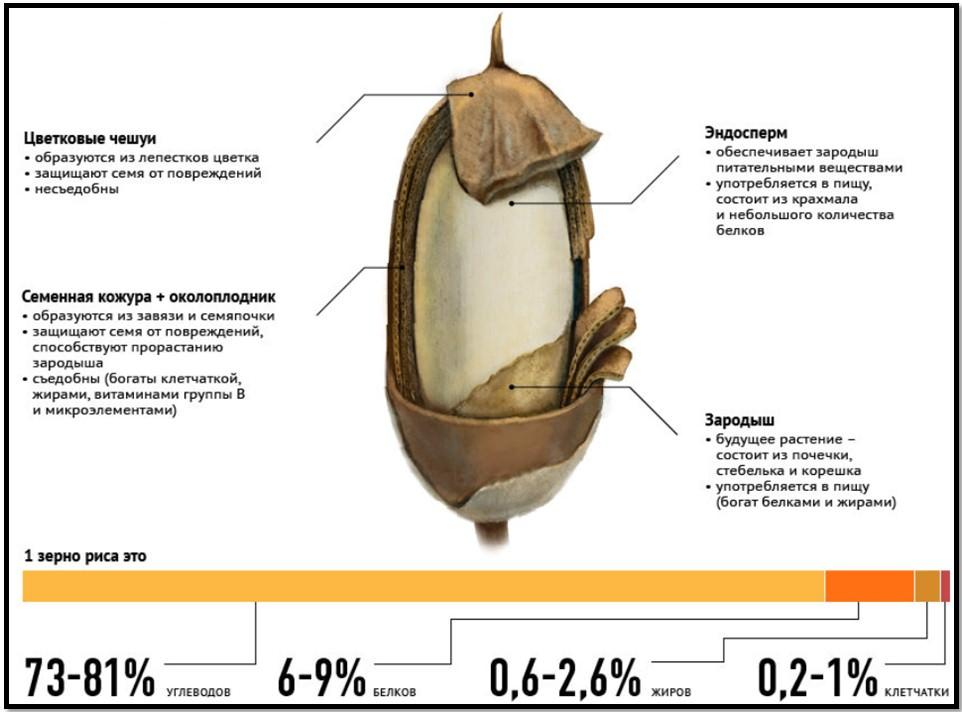 рис в бодибилдинге, структура