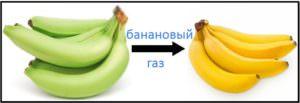 процесс созревания бананов