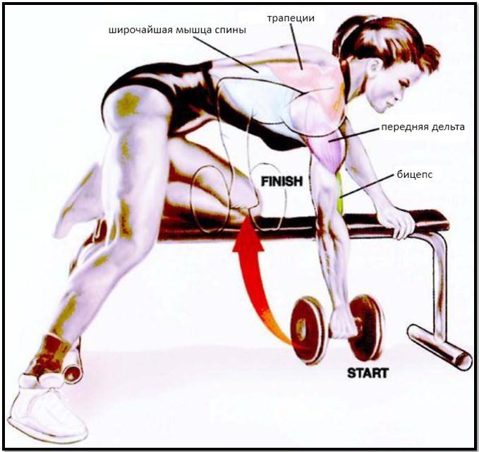 тяга гантели в наклоне, мышцы в работе