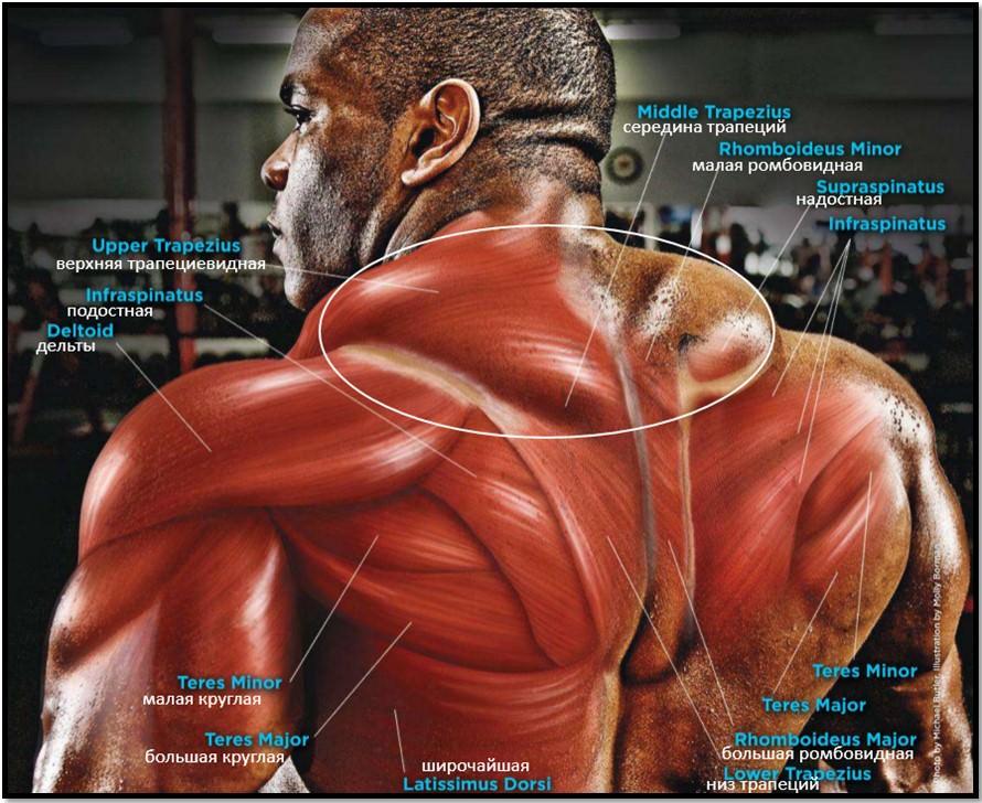 Шраги с гантелями, мышцы в работе