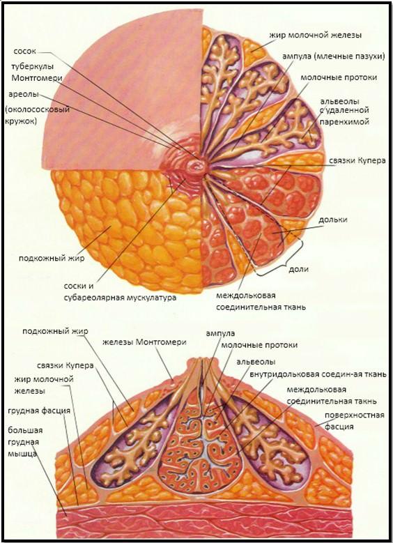 женская грудь состоит из