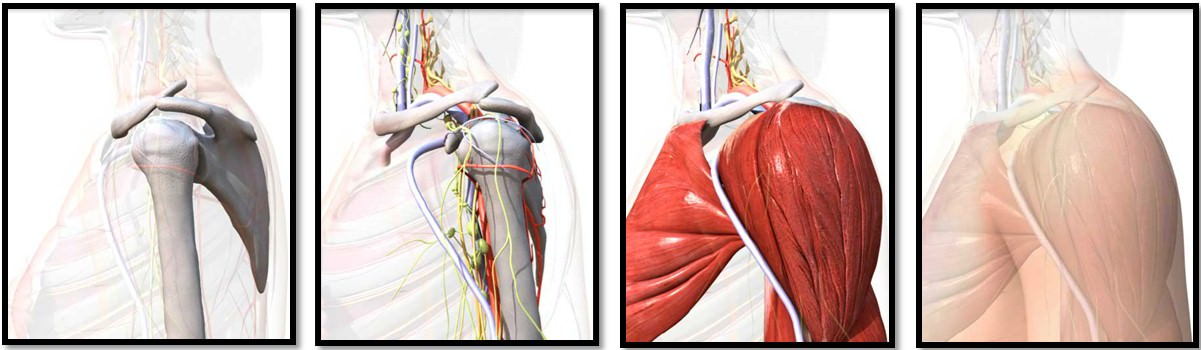 суставная губа плечевого сустава