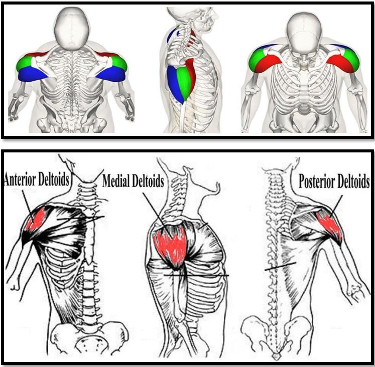 анатомия мышц плеч, 3