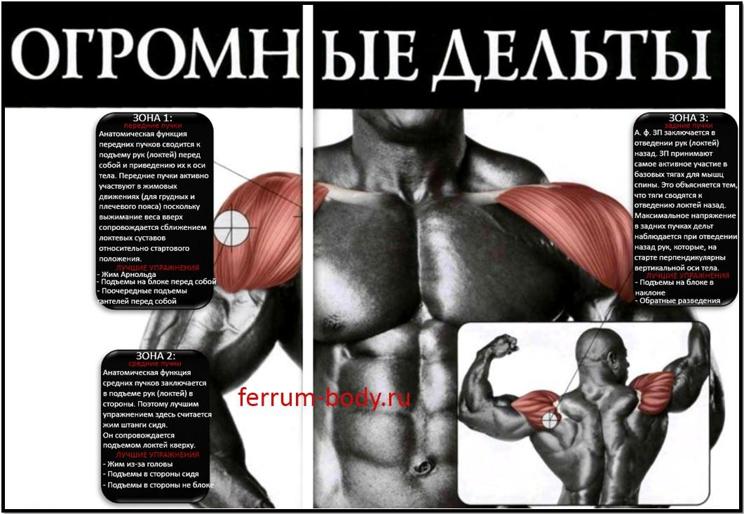 анатомические функции пучков дельт