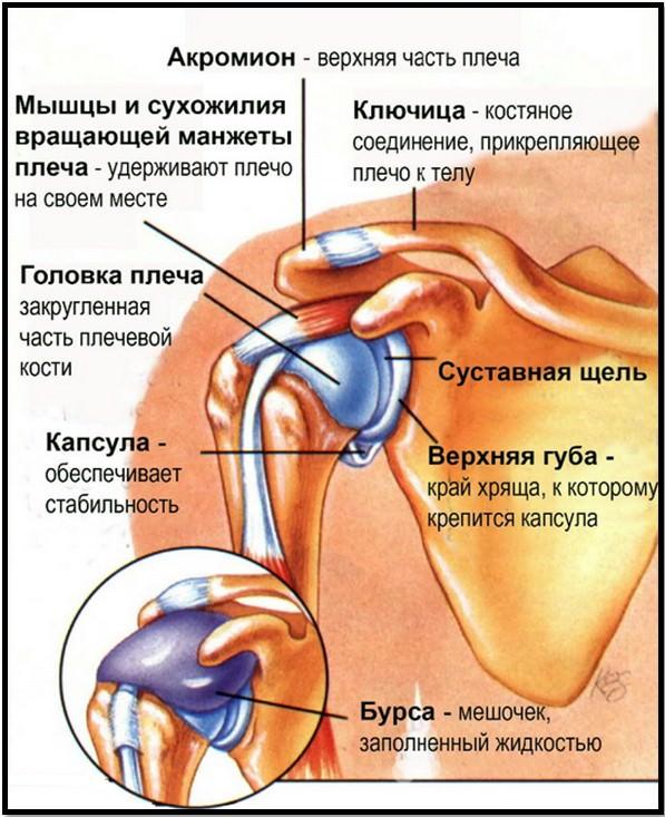 анатомия плеча, мягкие ткани