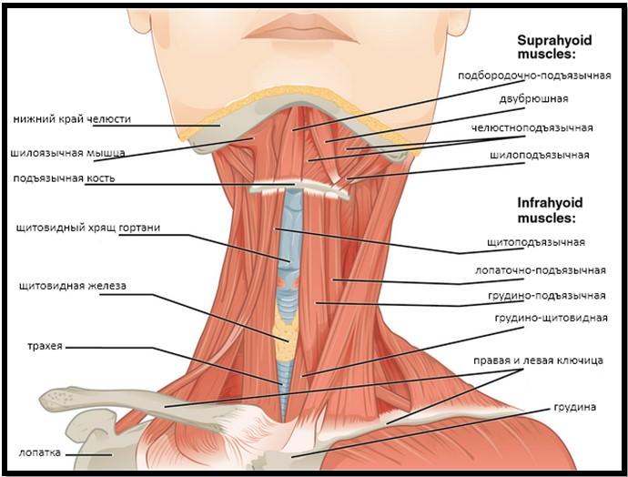 Мышцы передней части шеи