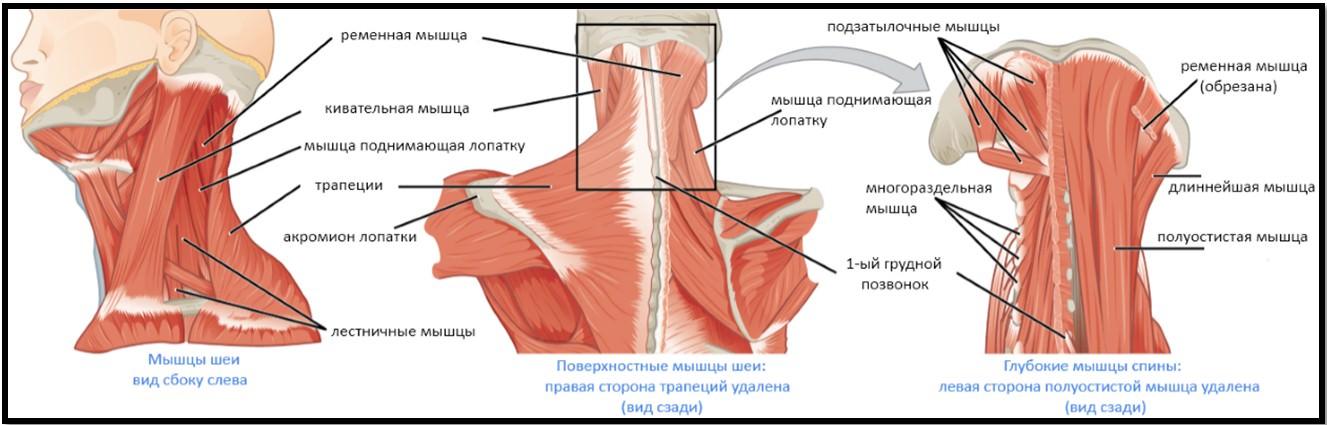 Мышцы, которые двигают голову