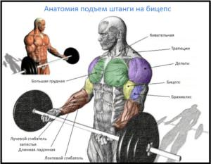 Подъем штанги на бицепс, мышцы в работе