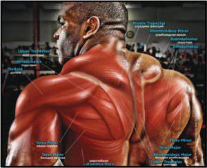 Мышцы спины середина и верх