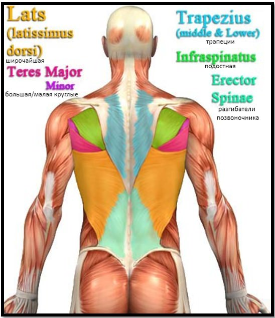 мышцы спины анатомия 1