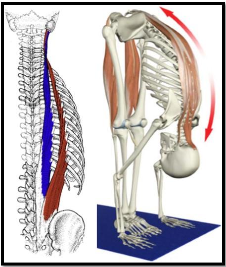 мышцы разгибатели позвоночника, расположение