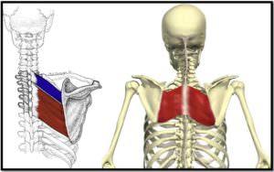 ромбовидные мышцы, расположение