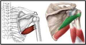 большая круглая мышца, расположение