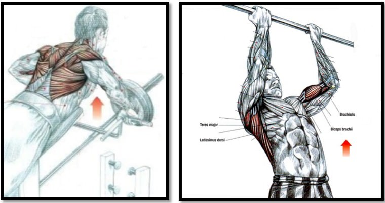 Мышцы спины анатомия картинки