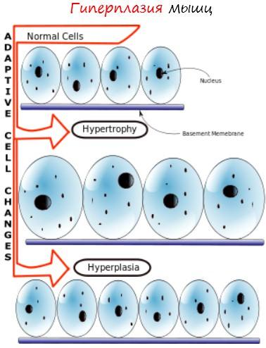 Гиперплазия мышц