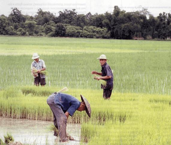 рабочие на поле с рисом