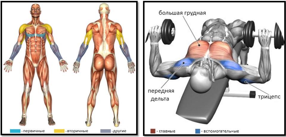 Жим гантелей лежа под углом вниз мышцы