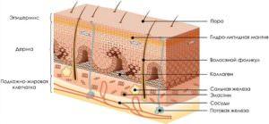 struktura-kozhi-300x139 структура кожи