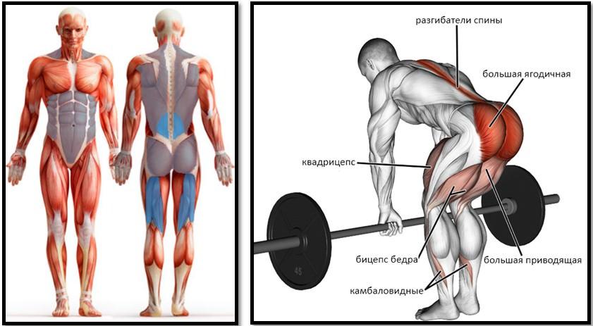 Румынская тяга с гантелями мышцы