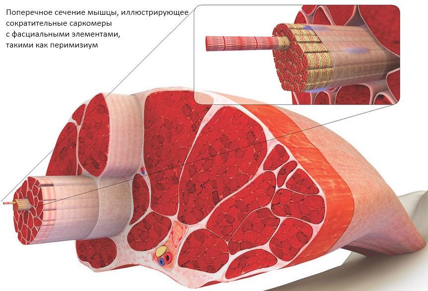 Поперечное сечение мышцы