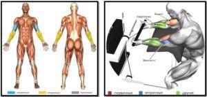 Сгибания рук с нижним блоком на скамье Скотта мышцы