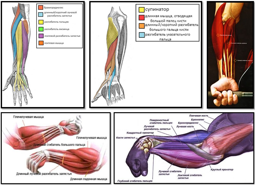 анатомия мышц предплечий, кисти