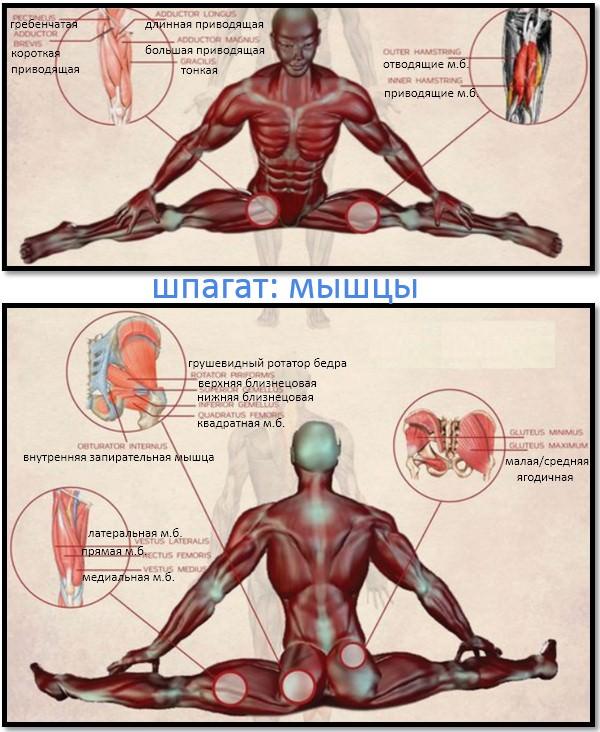 шпагат мышцы