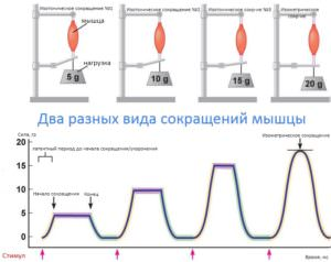 2-raznyih-vida-sokrashheniy-myishtsyi-na-odnom-grafike-300x238 2 разных вида сокращений мышцы на одном графике