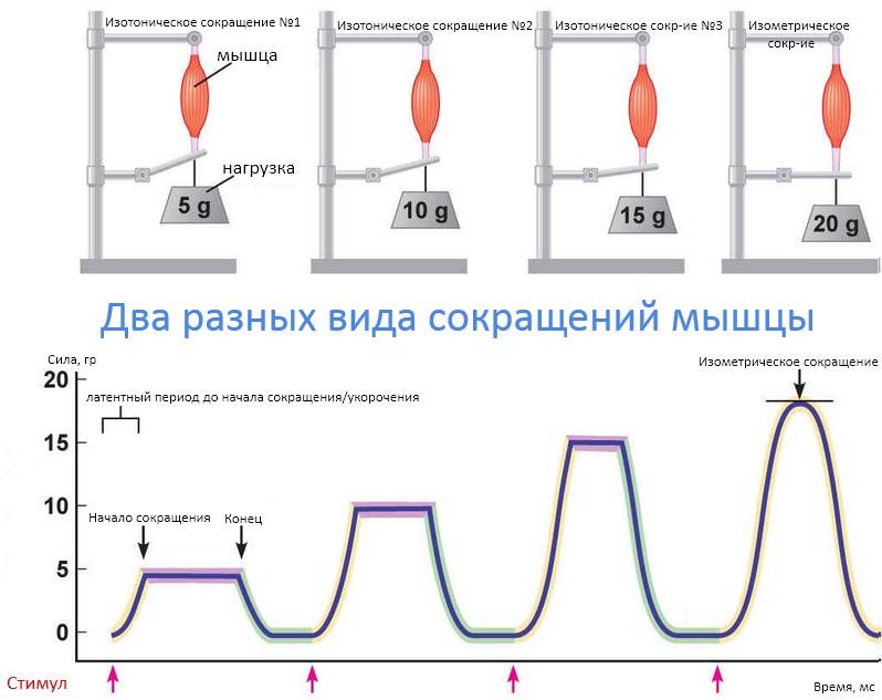 2 разных вида сокращений мышцы на одном графике
