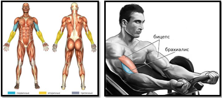 Сгибание рук на бицепс на тренажере мышцы